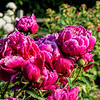 Peony Unknown 1-4ef