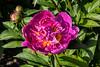 Unknown 4-3cd peony (deep rose)