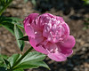 Peony Unknown 09-1cd