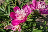 Chinese herbaceous peony Unknown 11-2a (prior to 2017)