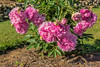Chinese peony Qing Wen (Bed 11)