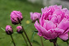 Bed 03 Madame Joanne Sallier (row 4 columns ab)<br /> D149-2016<br /> <br /> Peony Garden at Nichols Arboretum, Ann Arbor<br /> May 29, 2016 (early am)