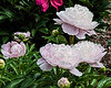Moonstone peony (seen in Bed 17; now in Bed 15)