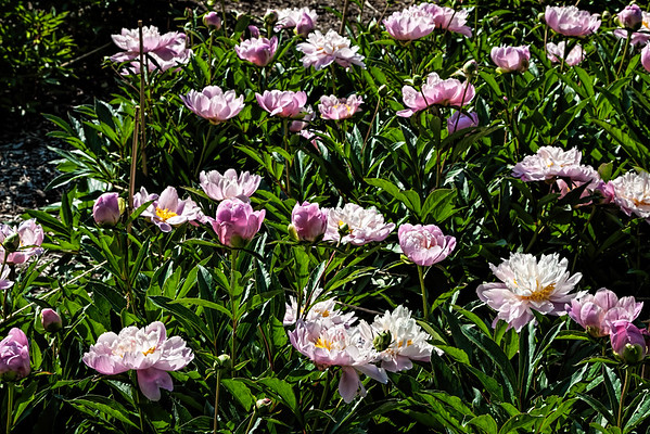 F. Cultivars - Herbaceous Peonies
