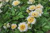 Requiem peony (Bed 21), Albiflora x macrophylla