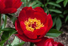 Postilion peony, Lactiflora x Officinalis