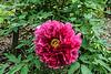 Anonymous - Bd, deep rose tree peony