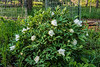 Buds of white tree peony (Bz - White #1)