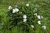 Plant Bz - White #1, tree peony