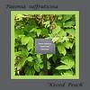 Kissed Peach, P. suffruticosa - Possible label for White #1