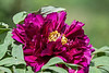 "Peonies, or Paeonies if you prefer. : The peony plant belongs to the lone genus, Paeonia, of the family Paeoniaceae.  Despite their lack of close relatives, peonies occupy a wide geographical range.  Wikipedia says in that regard that ""They are native to Asia, southern Europe and western North America.""  Native species number in the several dozens, but the popularity of the genus has lead to the development of a number of hybrids.  There are early-blooming varieties (woody tree peonies), but most of the cultivated varieties (herbaceous) seen in U.S. gardens and arboretums bloom from late May through early June (or earlier if the weather is warmer, as it most definitely was in March 2012).  Peonies are often classified by flower type (descriptive of petal number and arrangement).  Wikipedia lists the following types.  Refer to their article (http://en.wikipedia.org/wiki/Paeonies) for examples of each type:  (1) Single, (2) Japanese, (3) Anemone, (4) Semi-double, (5) Double, and (6) Bomb-Double.  For a good illustrated discussion of the various types, see here:  http://www.peonies.org/flower_types.html .  I have no proficiency in discriminating among these types, and typically I won't attempt to ascribe a type to any of the flowers I photograph unless that information is available on a plant tag, or online for varieties that are named on plant tags.  I've left pre-2012 photos of peonies in their original 'Garden Flowers' gallery and collected them to this gallery.  Beginning with 2012 peony photos will be uploaded here, and a selection of them will be collected to the 'Garden Flowers' gallery."