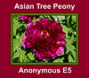 Asian tree peony, Anonymous E5, formerly By
