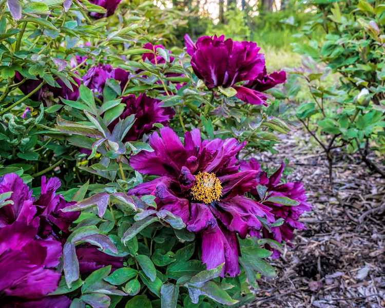 D132-2017<br /> Hephestos, Greek-American tree peony.<br /> This is the first cultivar to bloom in the bed of Euro-American tree peonies.<br /> <br /> Peony Garden at Nichols Arboretum<br /> Taken May 12, 2017 (early am)