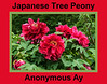 Chinese or Japanese tree peony, Anonymous Ay