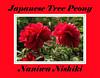 Naniwa Nishiki Japanese tree peony