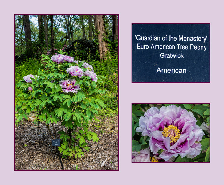 Plant label and photo ID:  Guardian of the Monastery