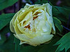 High Noon tree peony (buds)