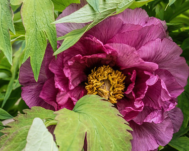 Leda, tree peony - Moutan & lutea strains