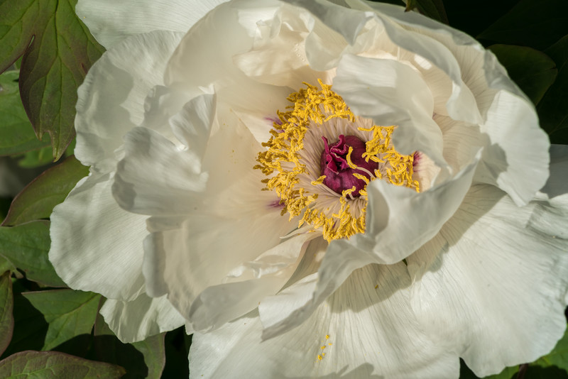 Sea of Tranquility (tree peony), bloom detail