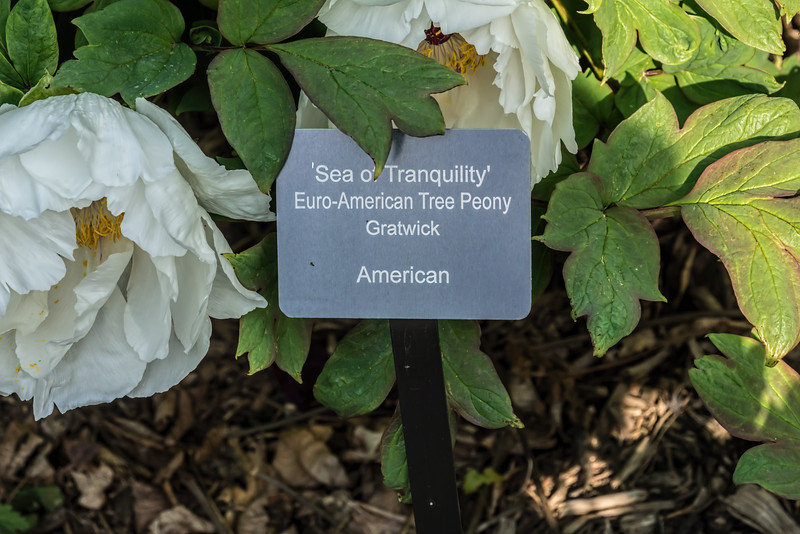 Sea of Tranquility; Euro-American tree peony