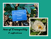 Sea of Tranquility (tree peony)