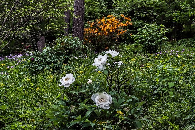 Tree peony amid wildflowers featuring White #1