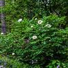 Anonymous tree or Rock peony, White #2