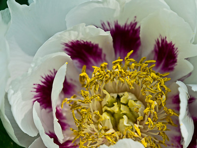 Anonymous - White #2, tree peony