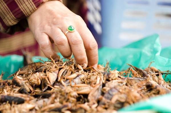 Picking the best crickets