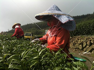 Harvesting the famous mountain tea of Taiwan. Hand picked tea leaves. Central mountains of Taiwan by kstellick