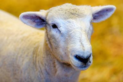 Not a Bashful Sheep