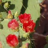 More Sedona Prickly Pear