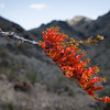 Ocotillo Blooms from stick