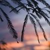 Mesquite-Sunset