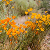 After a somewhat wetter winter the desert will respond with a great show of color for a few weeks before it gets hot and this year was one of those winters in AZ.