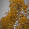 Yellow Tree on my sky