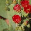 Sedona Prickly Pear 4