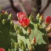 Sedona Prickly Pear 3