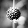 BW wildflower