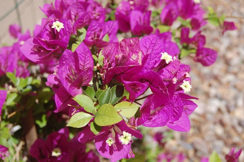 Purple Beuganvilla