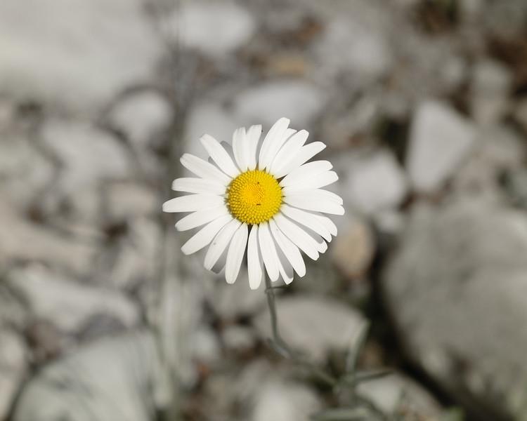 A Daisy Grows