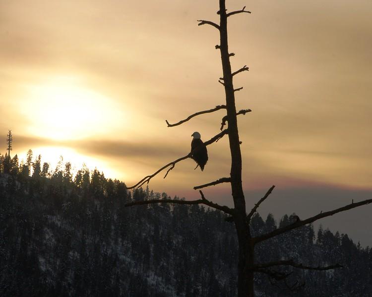 Bald Eagle Coeur d'Alene