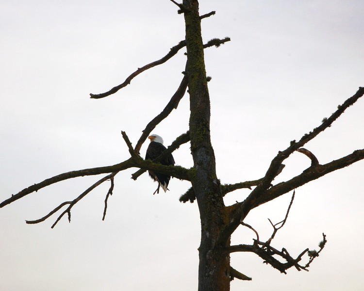 Bald Eagle Coeur d'Alene 2