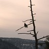 Bald Eagle Coeur d'Alene 4