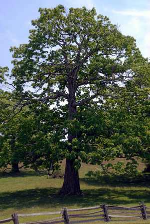 tree on blue ridge parkway