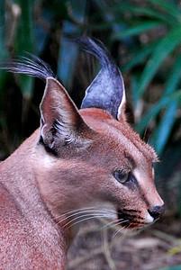 """Caracal (""""Ear Cat"""")"""