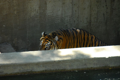 Tiger in a stairwell.  (Not where you'd want to encounter a tiger).