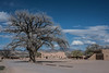The iconic oak tree, at the center of town on the San Ildefonso Pueblo, in New Mexico.