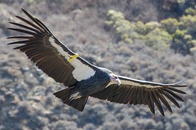 California Condor (#4)