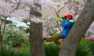 Descanso Cherry Blossom Festival